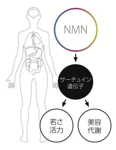 NMNの主な効果